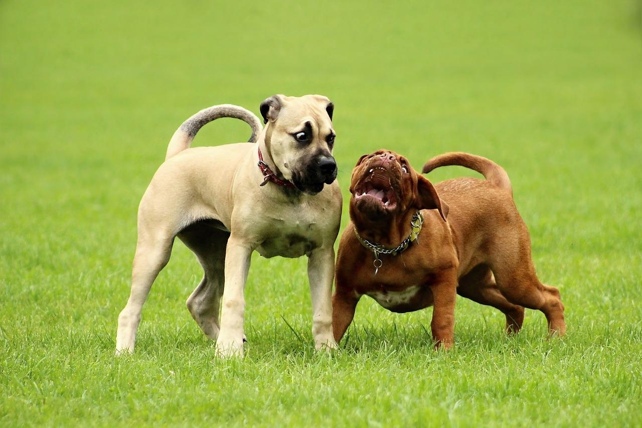 französische bulldogge jack russel mix welpen kaufen