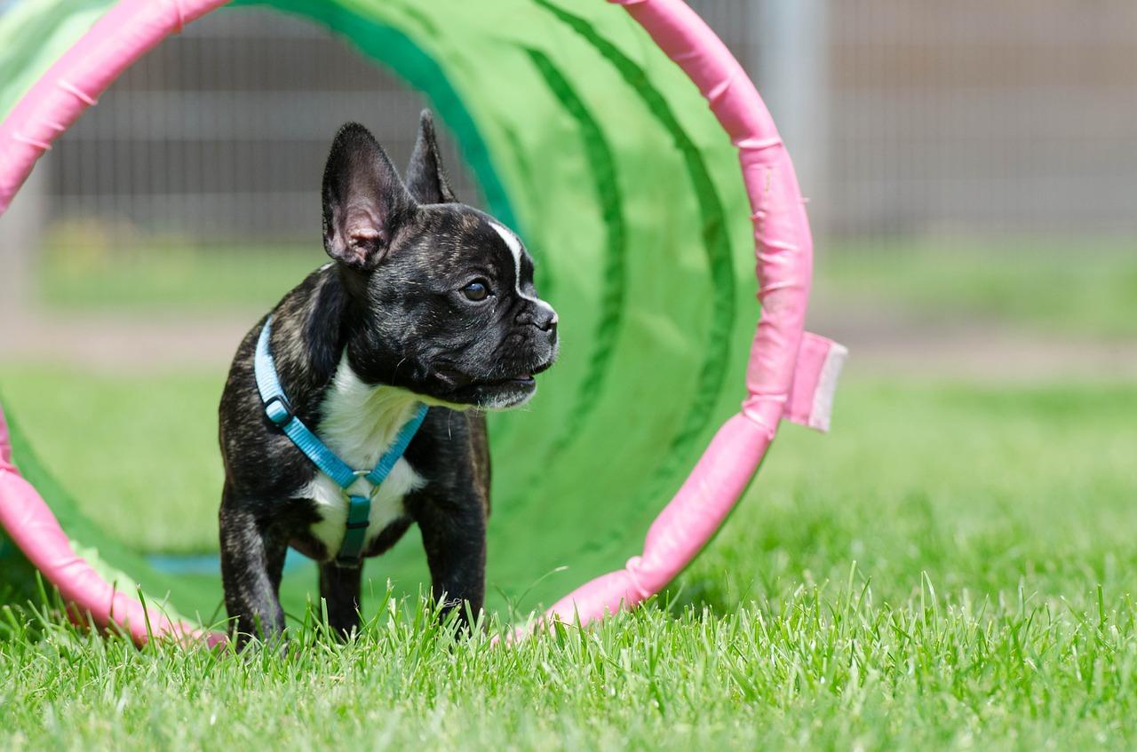 Kaufpreis Und Monatliche Franzosische Bulldogge Kosten